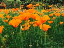 Poppies (1)