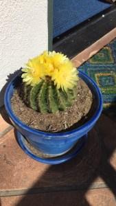 flowering cactus in cobalt blue pot
