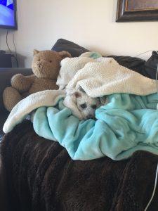 bichon frise dog cuddled in blanket