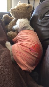 bichon frise sleeping in a tshirt with stuffed bear