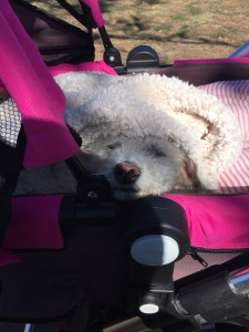 senior dog sleeping in a dog stroller