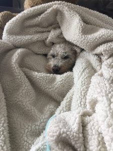 Dog in blanket