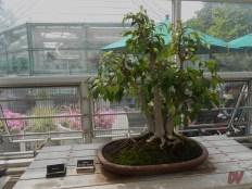 Uno dei bonsai esposti
