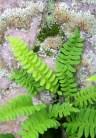 Moss and Fern, Rib Mountain