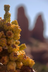 Cactus buds and red rock formation, Sedona, AZ