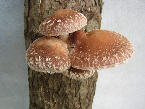 Fungus Shii Take Mushroom Shiitake  - Demorobi / Pixabay