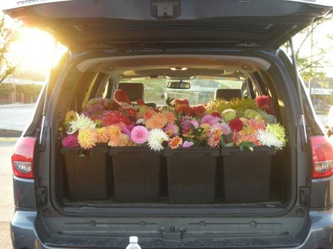 a hatch-full of dahlias