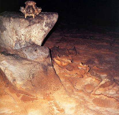 cavebear skull