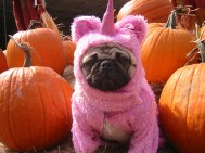 pumpkin patch unicorn pug