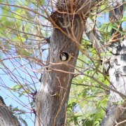woodpecker-video