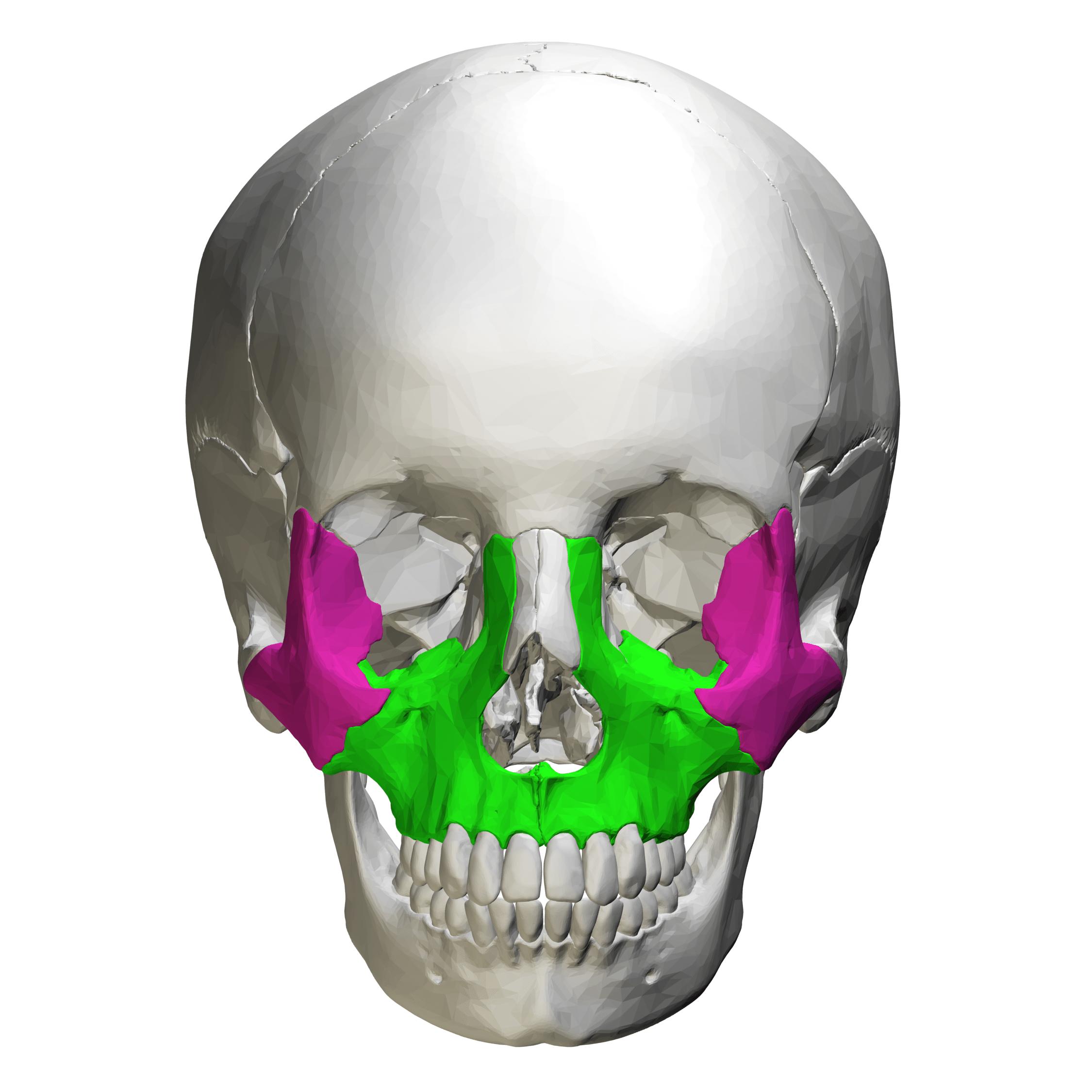 Zygomatic bone anatomy