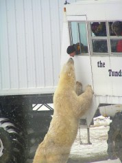 Getting up close and very personal in Churchill Canada