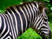 Z is for Zebra at Singapore Zoo