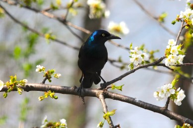 grackle-in-cherry-tree
