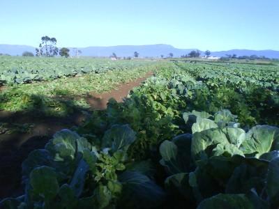 Jonny Blair weeding a cabbage paddock in Bishopsbourne