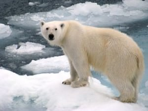 you wont find a polar bear in antarctica