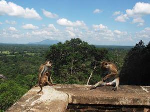 monkeys at sigiriya city on a rock sri lanka