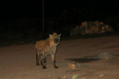 hyenas at duck in Harar Ethiopia