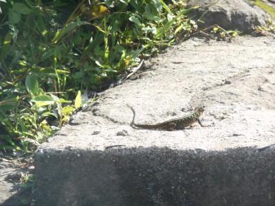 A lizard at Puerta del Diablo