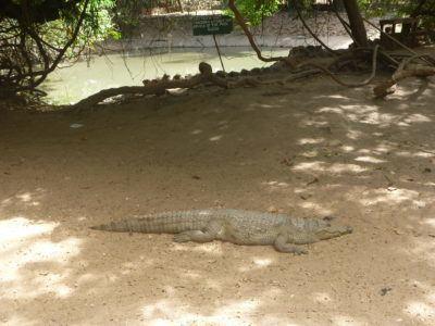 A crocodile at Kachikally