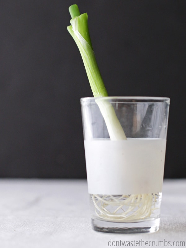 Green onion sitting in a glass of water.