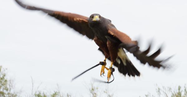harris hawk on wing