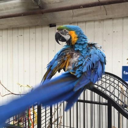 Papegøjen, der kan tale