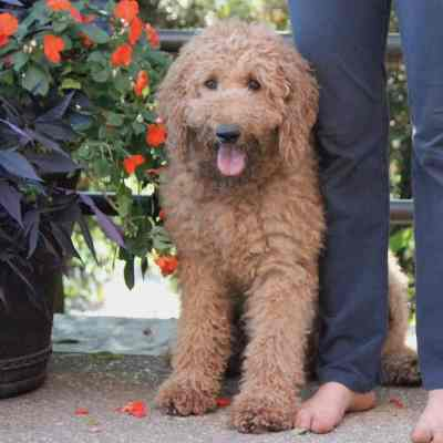 Dad to the Goldendoodle