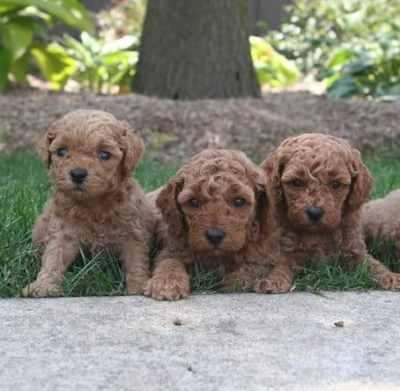 minigoldendoodle puppies for sale
