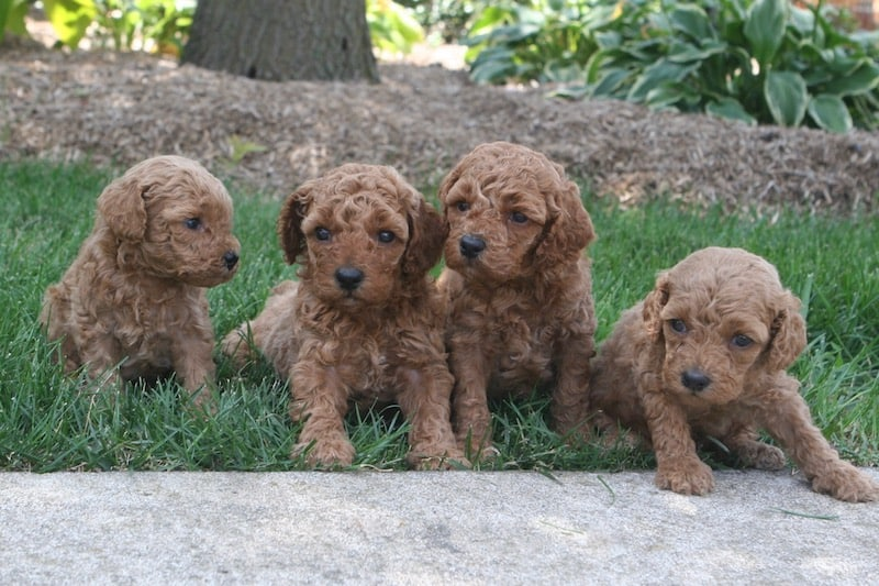 red moyen poodle puppies