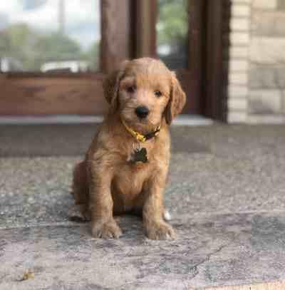 California Irish Goldendoodle Puppy