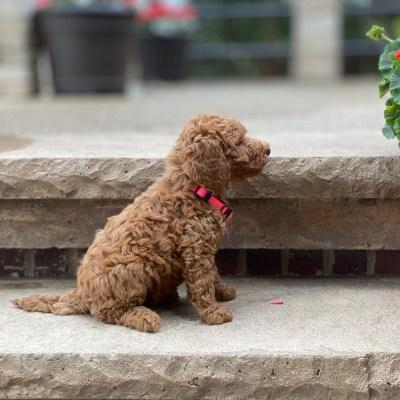 Moyen Poodle Puppy