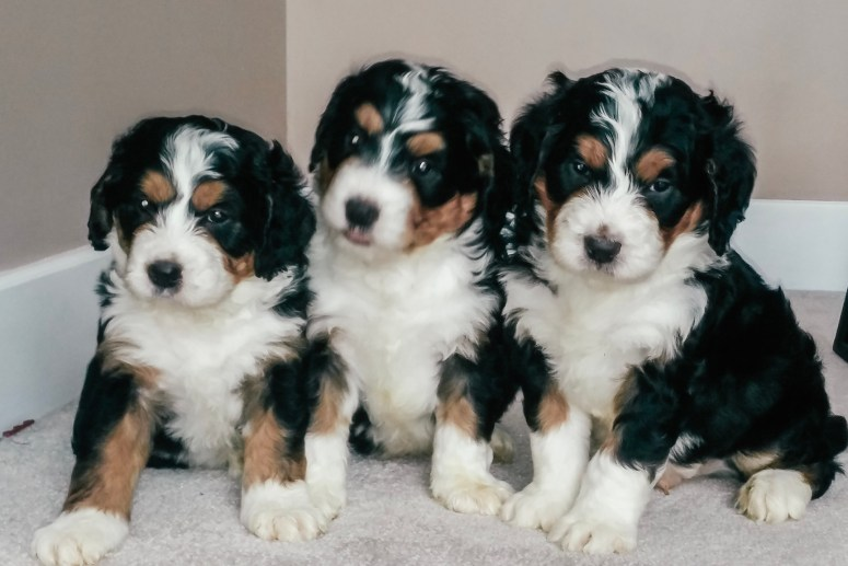 Puppies for sale in columbus ohio