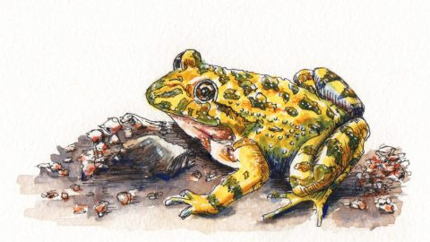 Corsican Painted Frog