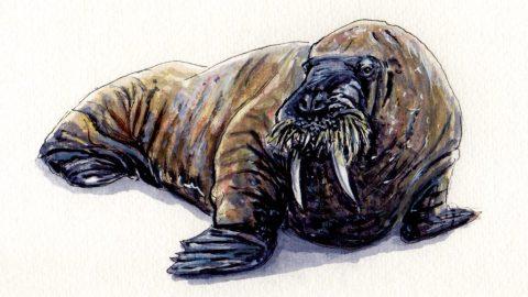 Walrus Doodlewash