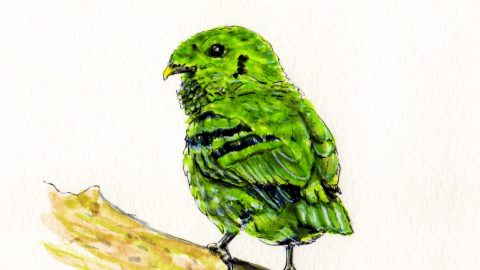 Green Broadbill Doodlewash Asian bird in green watercolor sketch and illustration