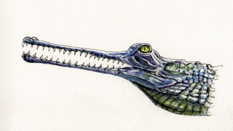 The Gavial - Gharial or fish-eating crocodile endangered species watercolor painting and sketch illustration