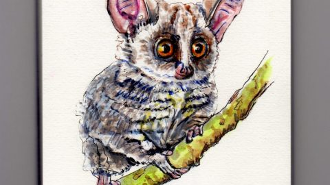 Galago - Doodlewash watercolor painting sketch illustration of African bushbaby bush baby nagapie