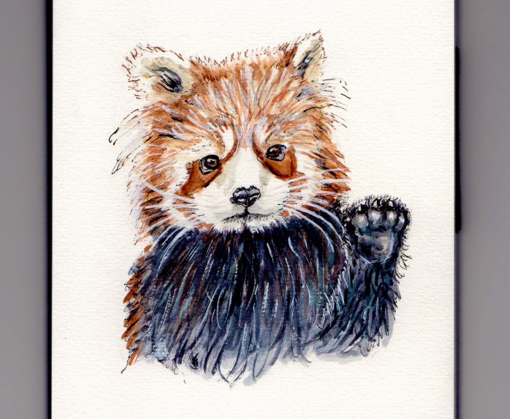 Red Panda Doodlewash - illustration and watercolor sketch and painting of red panda, lesser panda, red bear-cat, and red cat-bear