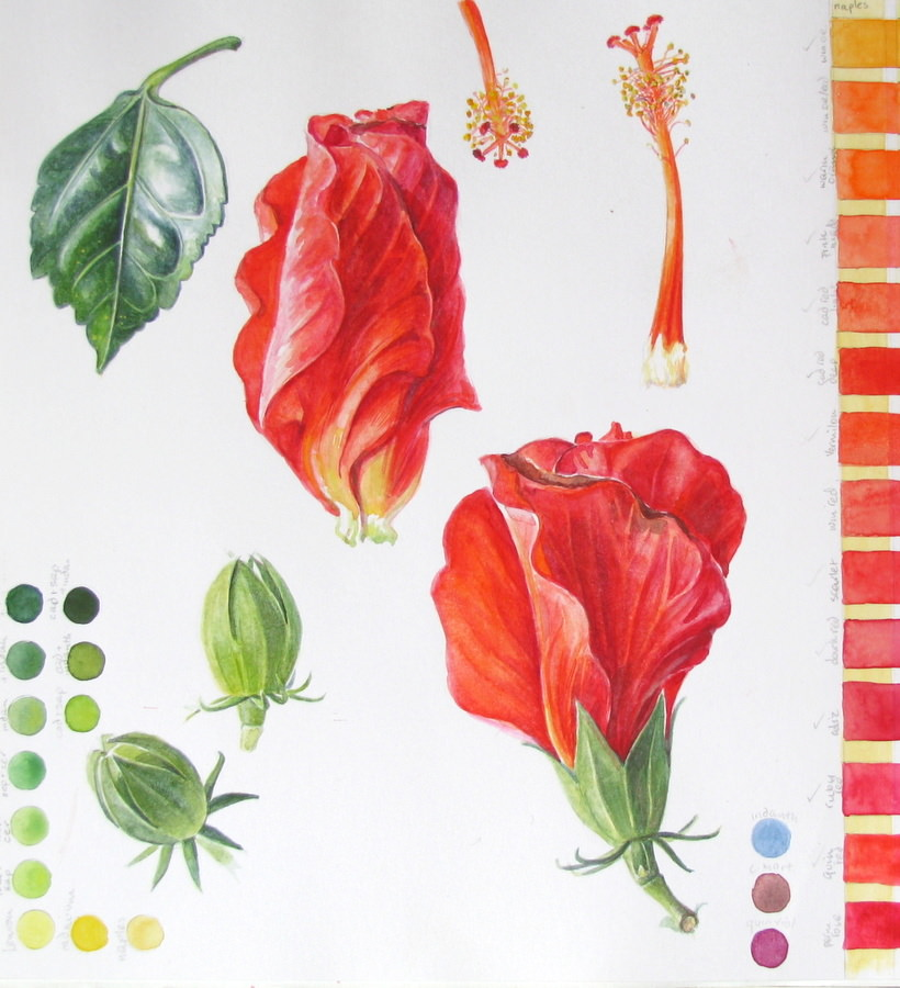 Sketchbook study page of Hibiscus flowers, buds and leaf with green and red colour charts by Shevaun Doherty (Doodlewash)