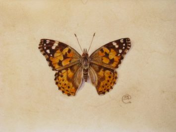 Watercolour painting of an orange and brown butterfly, Painted Lady Butterfly , on vellum by artist Shevaun Doherty (Doodlewash)