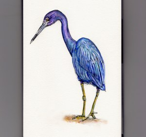 National Audubon Day - doodlewash and watercolor illustration of little blue heron