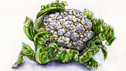 The Amazing Cauliflower Doodlewash and watercolor sketch of white cauliflower and green leaves botanical illustration
