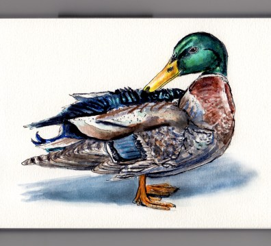 A Duck's Life Doodlewash and watercolor sketch of a mallard duck standing casting shadow on white background