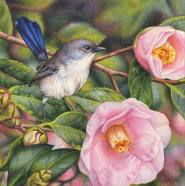 Heidi Willis_Botanical Illustrator_Bird Artist_Camellias_Blue Wren