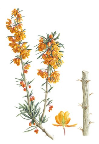 Doodlewash - Botanical Illustration by Işık Güner of Berberis Trigona © Royal Botanic Garden, Edinburgh