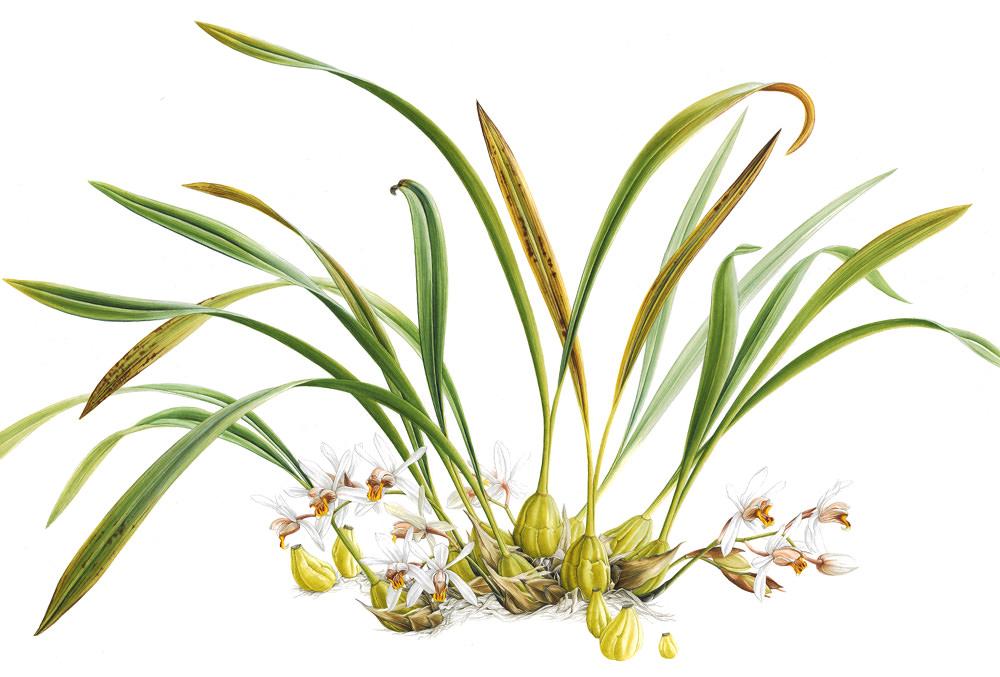 Doodlewash - Botanical Illustration by Işık Güner of Coelogyne Viscosa