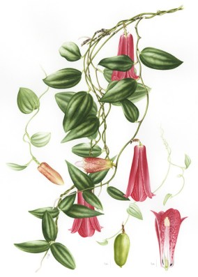 Doodlewash - Botanical Illustration by Işık Güner of Lapageria Rosea © Royal Botanic Garden, Edinburgh