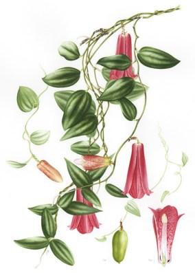 Doodlewash - Botanical Illustration by Işık Güner of Lapageria Rosea © Royal Botanic Garden, Edinburgh