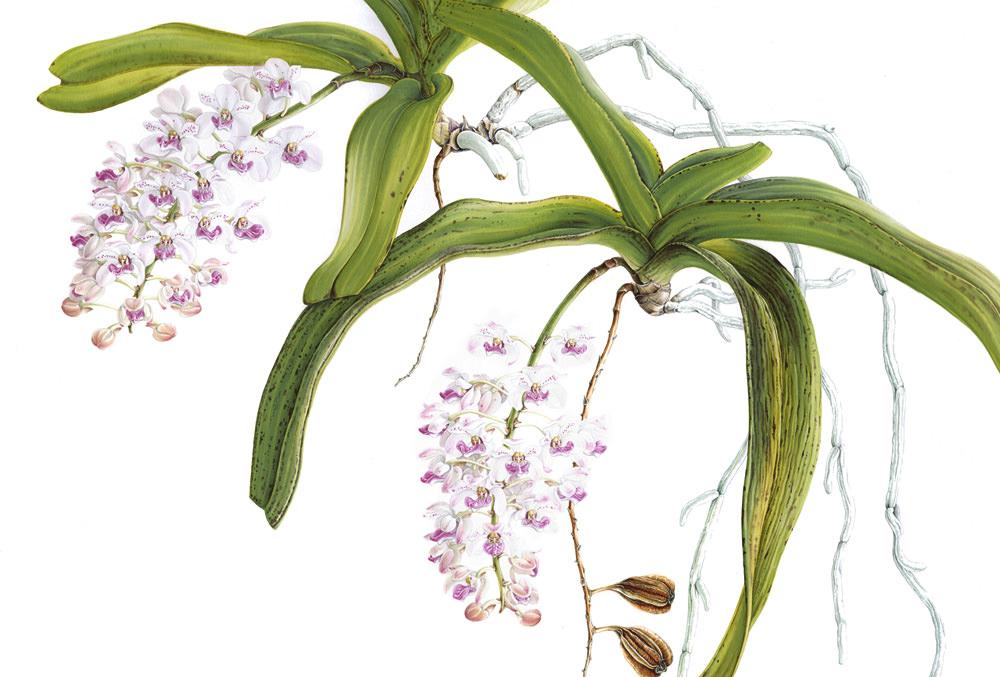 Doodlewash - Botanical Illustration by Işık Güner of Rhynchostylis Gigantea